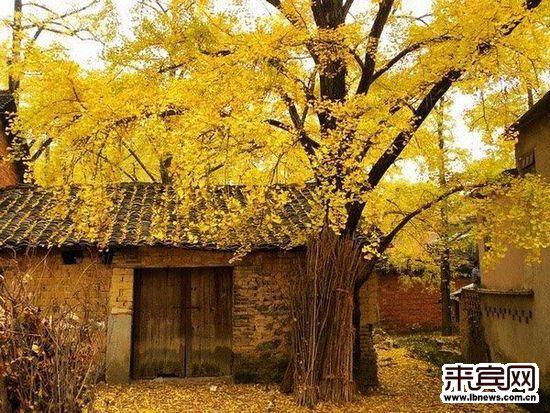 no.2广西桂林海洋银杏林