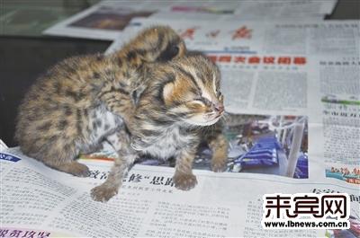 小怪猫原来是国家二级保护动物豹猫.