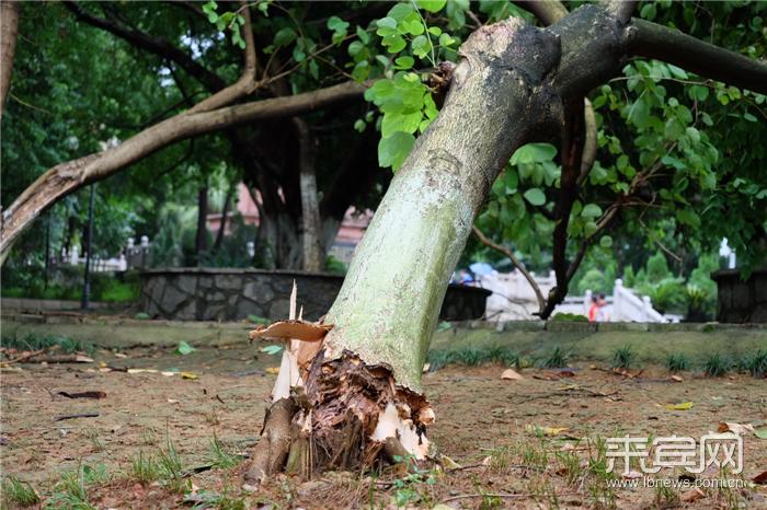 昨日下午,市区出现短暂风雨交加天气,除影响市民出行外,一些树木和